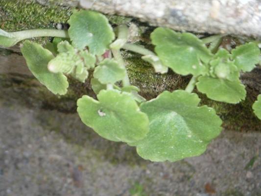 Umbilicus rupestris =nombril de Vénus