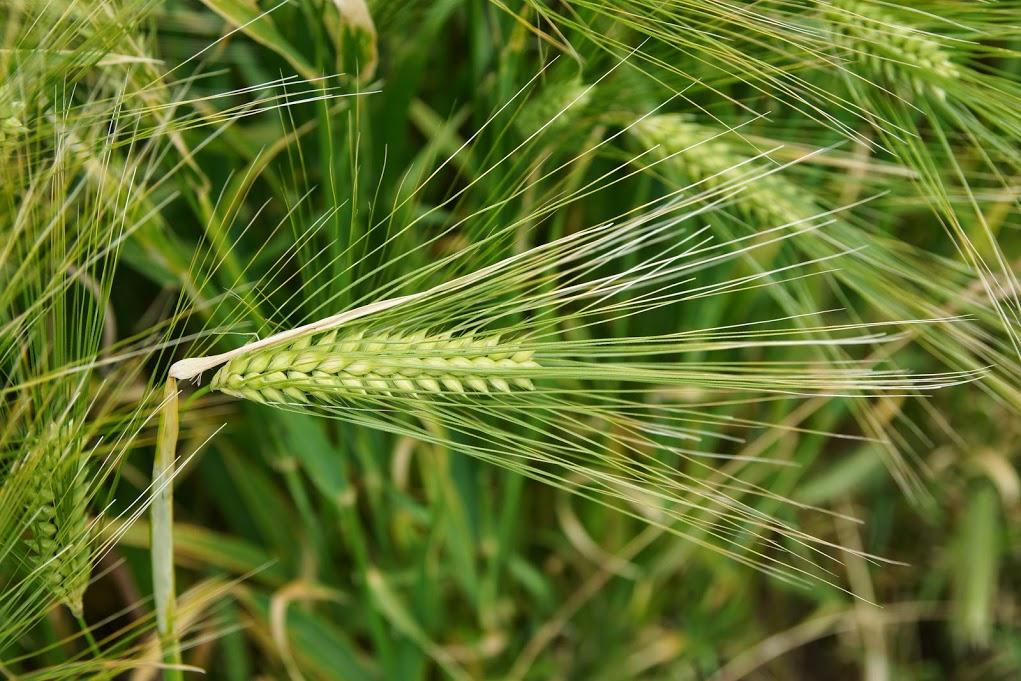 le blé est encore vert