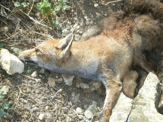 petit renard ne chassera plus