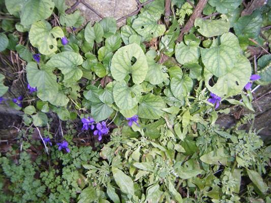 premières violettes !