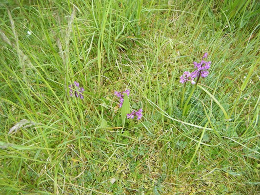 les orchidées...