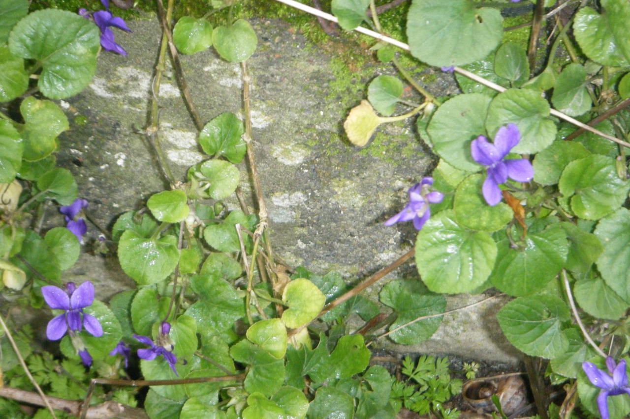 des violettes le 7 janvier !!!