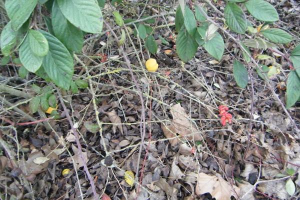cognassier du Japon: des fruits et des fleurs...